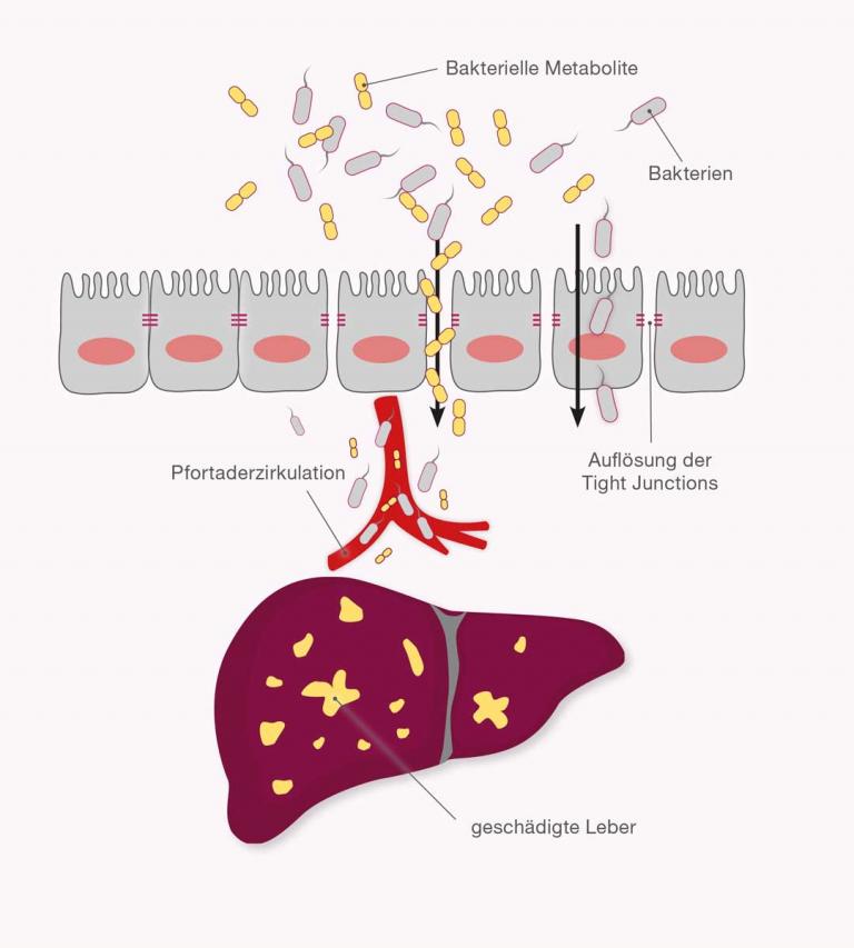 Darm-Leber-Achse im Detail erklärt